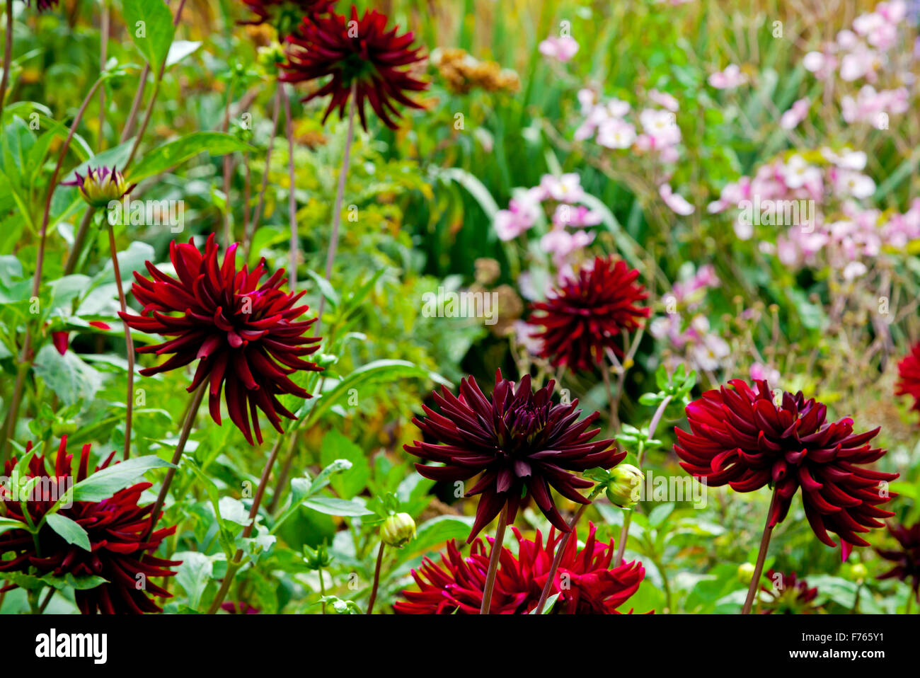 Dark red dahlia stock photos dark red dahlia stock images alamy dark red dahlia flowers growing in garden border in late summer a genus of tuberous herbaceous mightylinksfo