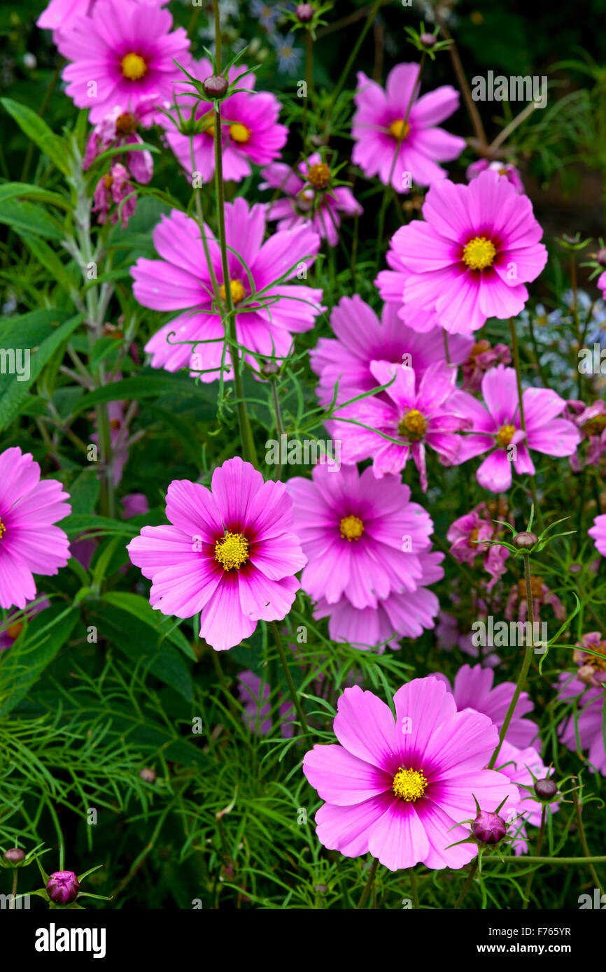 Coreopsis Flowers Stock Photos Coreopsis Flowers Stock Images Alamy