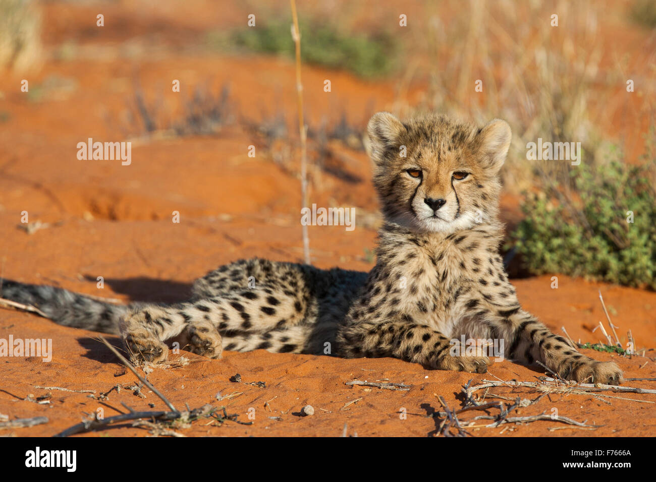 Cheetah cub lying down with its head up on a sand dune in the Kgalagadi Transfrontier Park Stock Photo