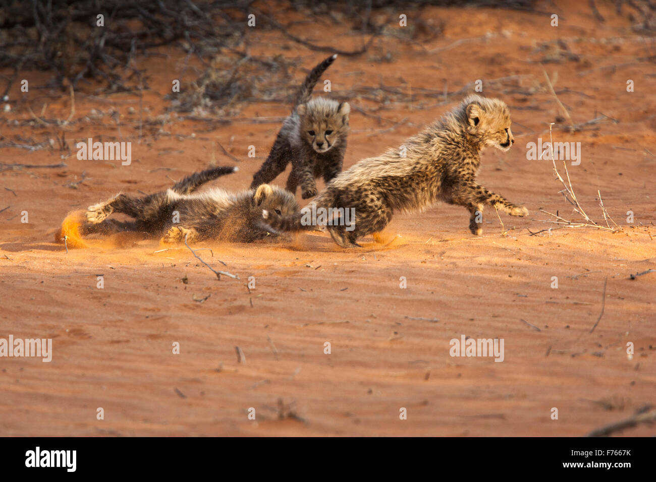 Cheetah cubs playing on a sand dune in the Kgalagadi Transfrontier Park - Stock Image