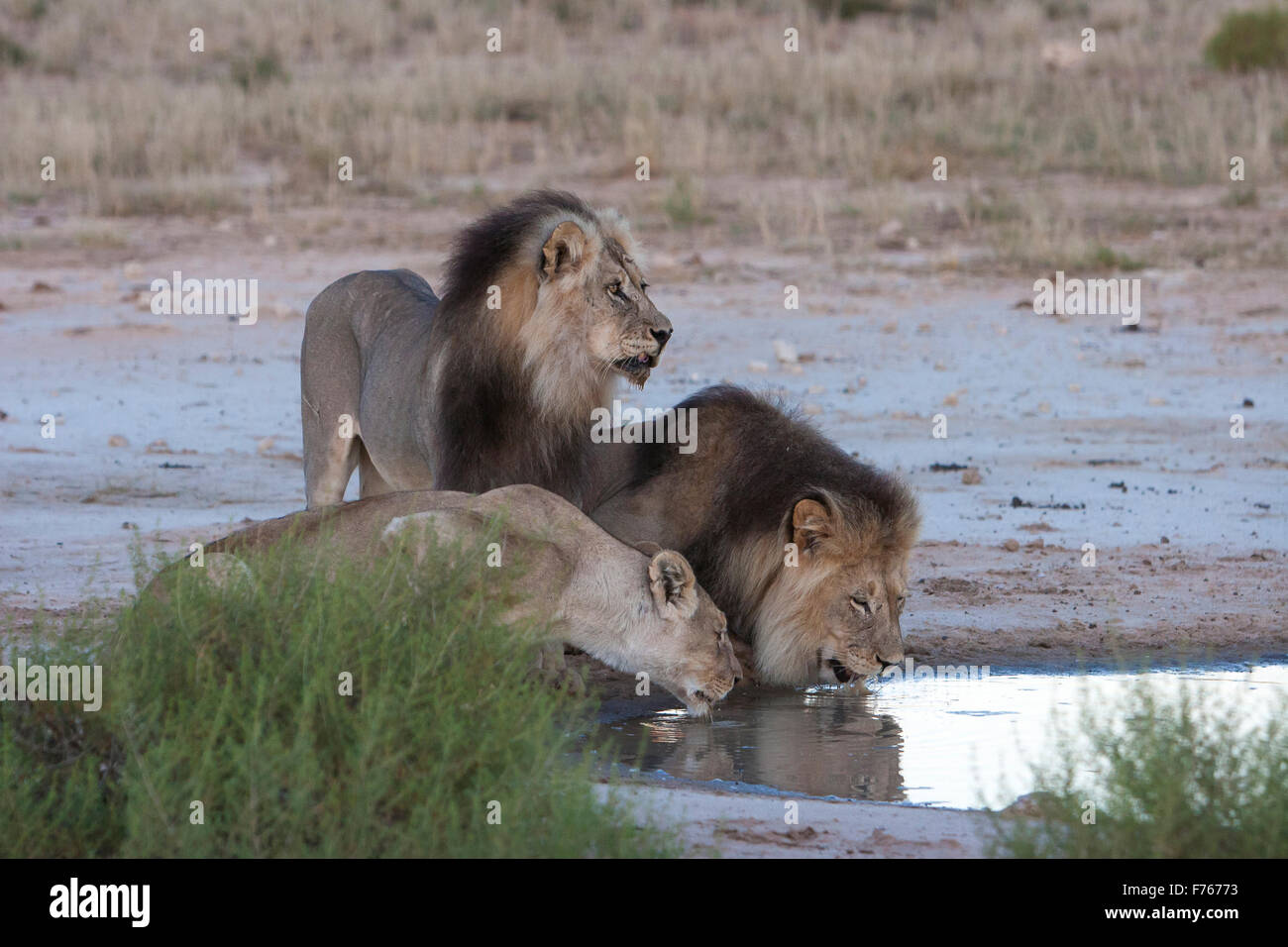 Two male lions and a lioness drinking water from a pan in the Kgalagadi Transfrontier Park - Stock Image