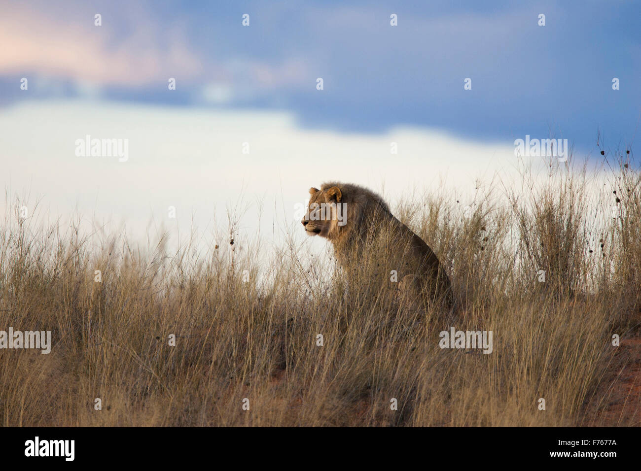 Male lion sitting on top of a sand dune watching something in the Kgalagadi Transfrontier Park - Stock Image