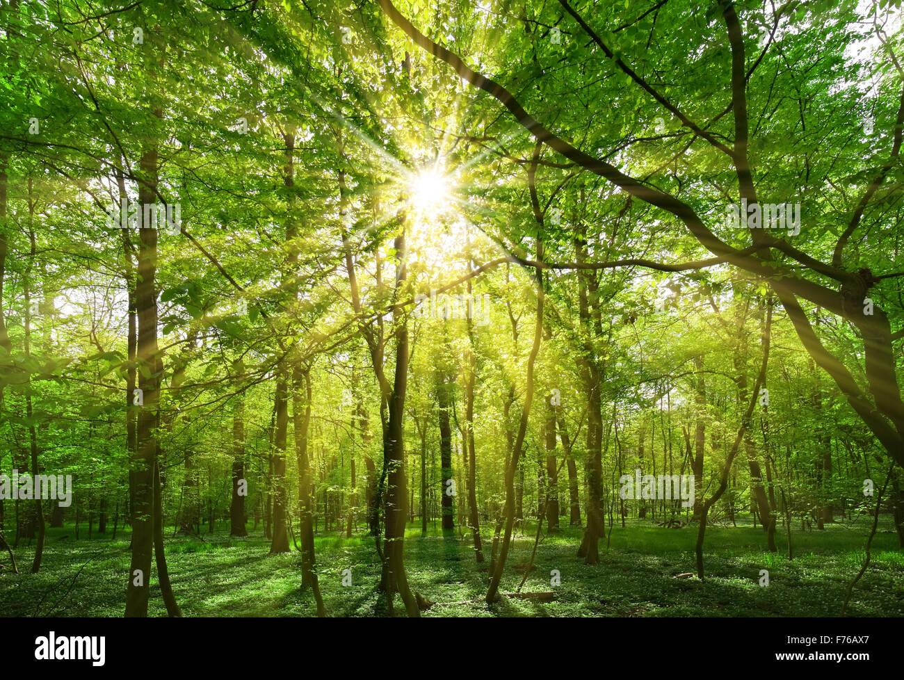 Spring Sun Shining Through The Tree Branches Stock Photo