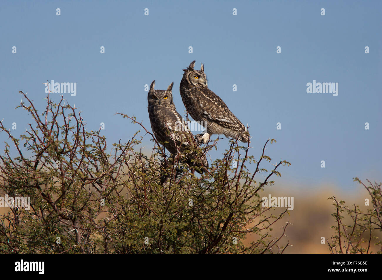 Two Spotted eagle owls perched in a tree during daylight hours in the Kgalagadi Transfrontier Park - Stock Image