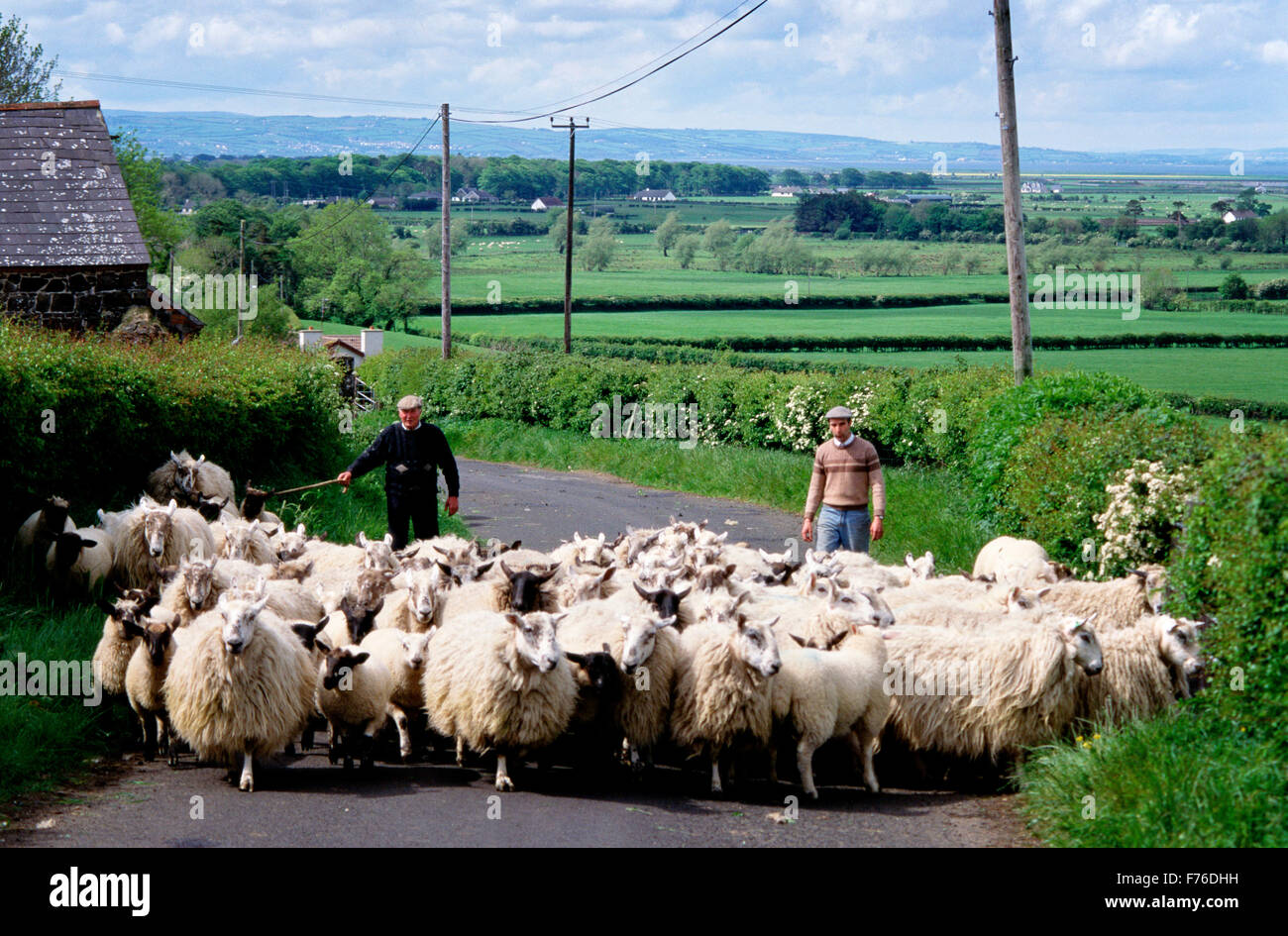 Sheep, County Down, Farming, road, agriculture, Irish, Northern Ireland - Stock Image