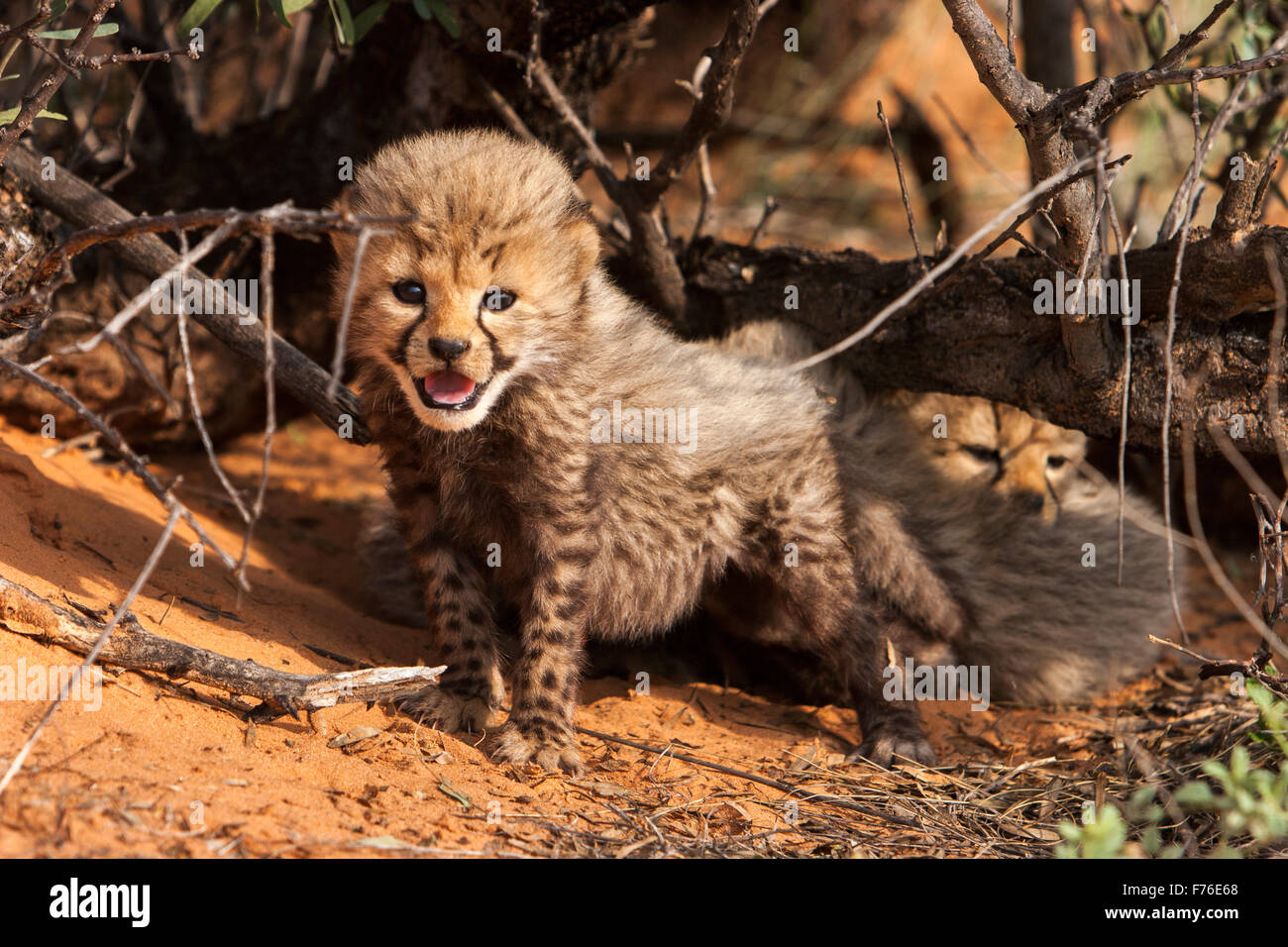 Cheetah cubs close to a tree on a sand dune in the Kgalagadi Transfrontier Park - Stock Image