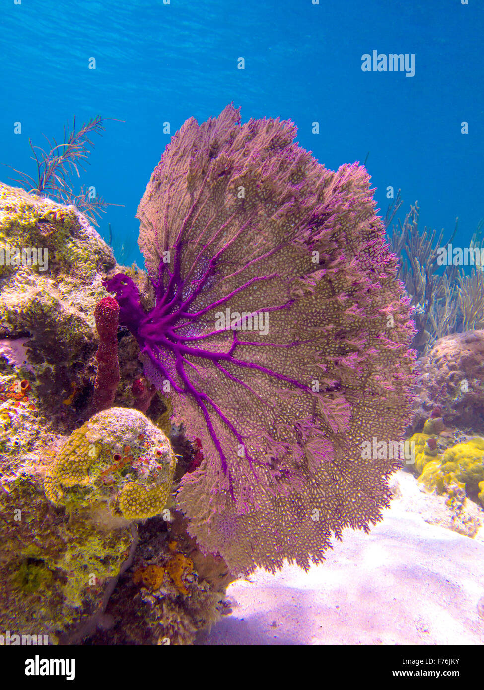 A purple sea fan coral looks beautiful against the blue ocean in the a purple sea fan coral looks beautiful against the blue ocean in the bahamas publicscrutiny Images