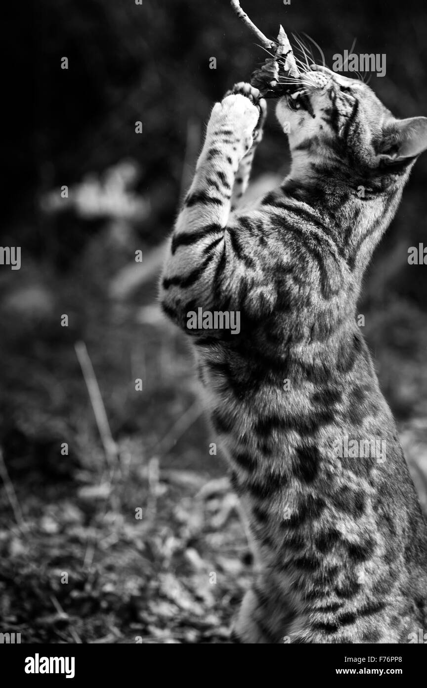 Bengal cat playing with a twig - Stock Image