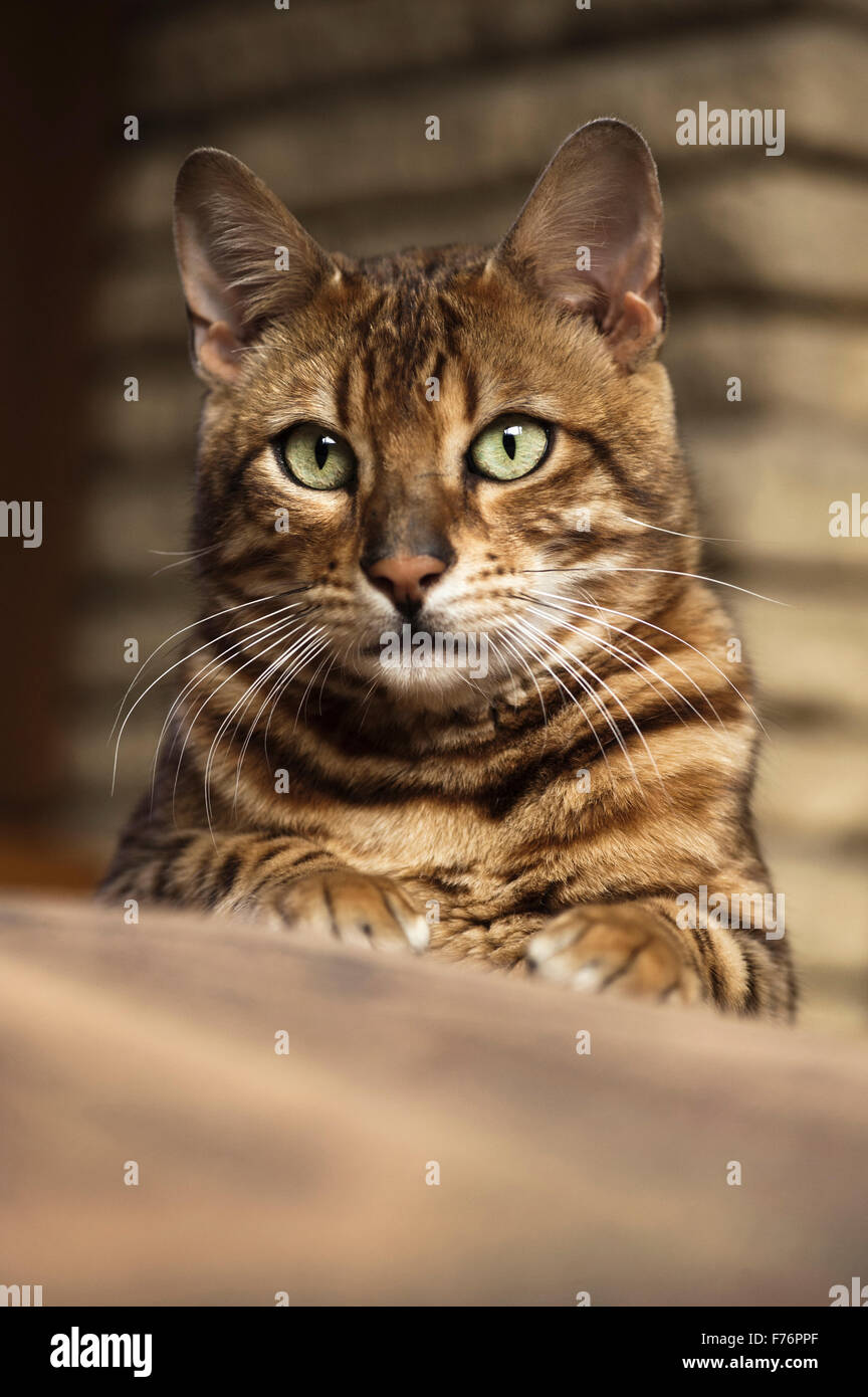 Front view of a Bengal cat lying down looking at the camera - Stock Image