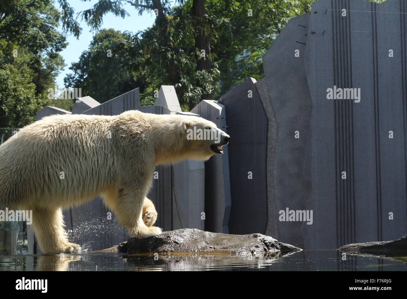 Close-up of a polar bear standing outside under sunlight - Stock Image