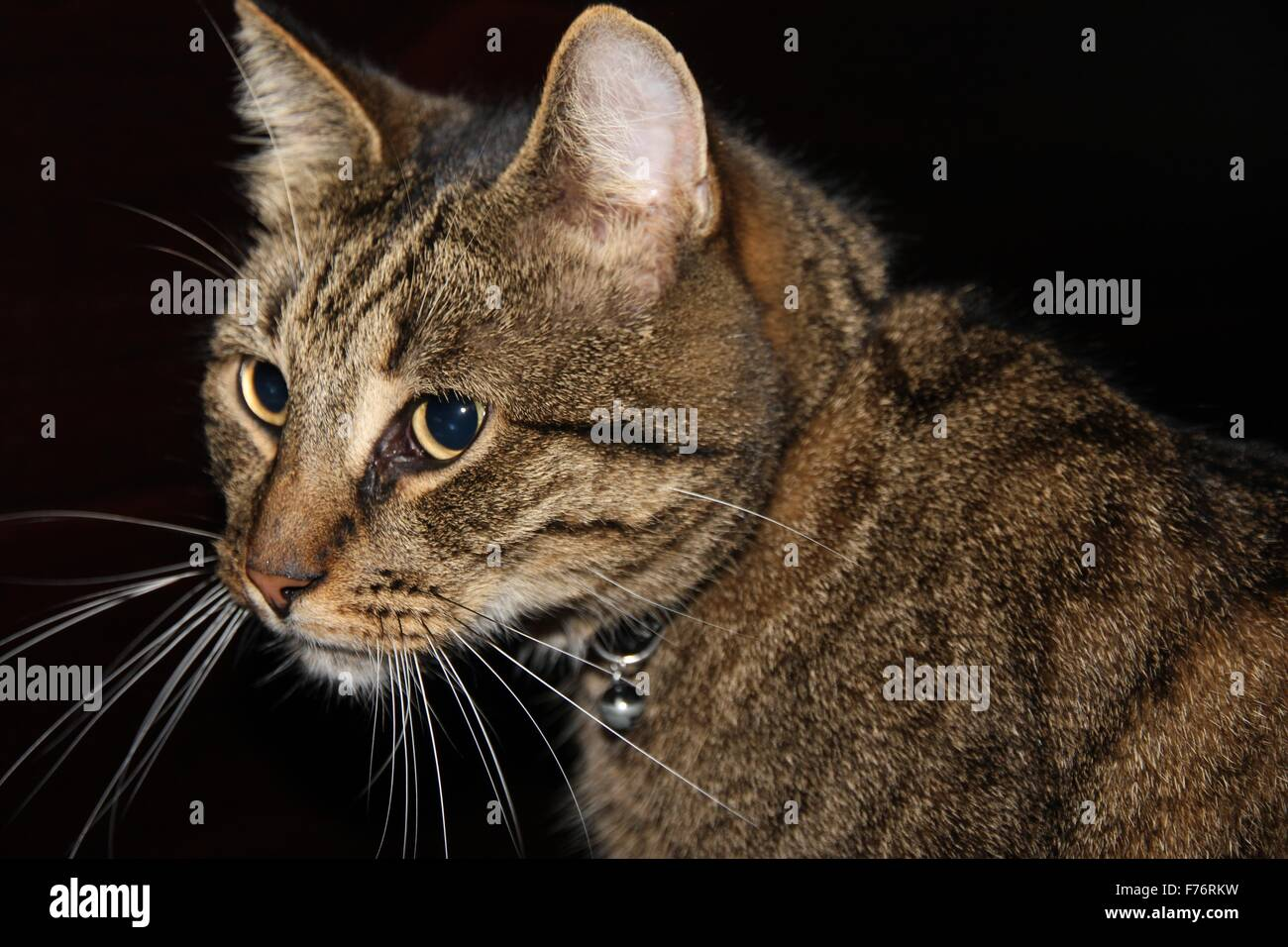 close up of a tabby cat on a black background - Stock Image