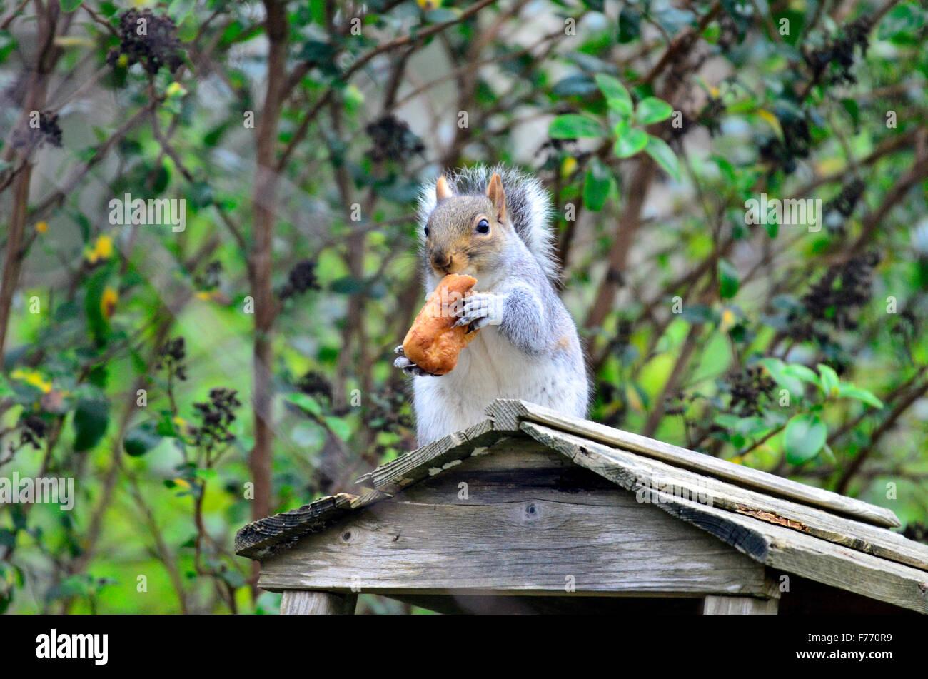 Bristol, UK. 26th Nov, 2015. UK Weather/Wildlife. Hungry Squirrel, having raided a bird table containing bird seed - Stock Image