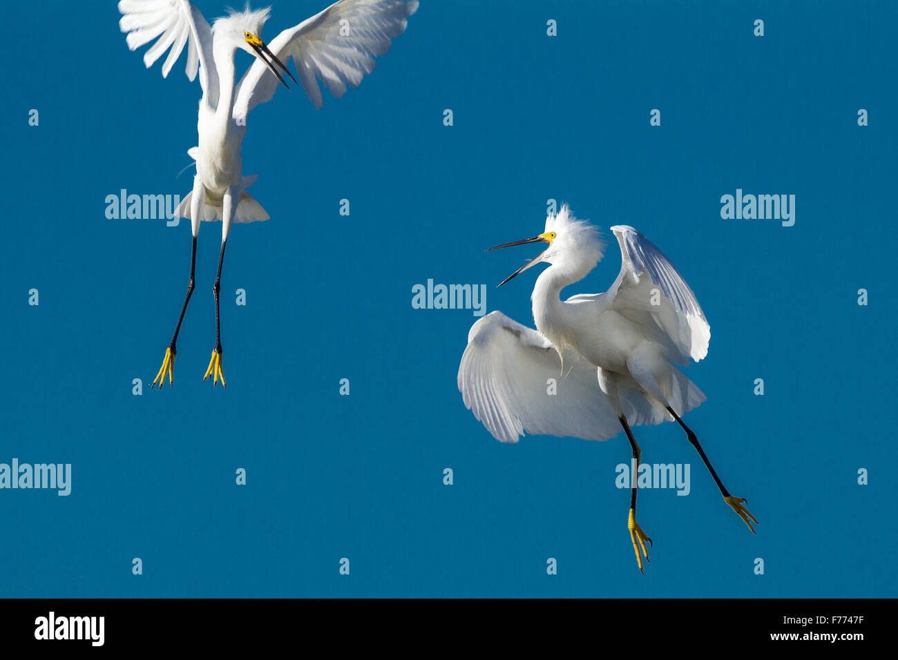 Snowy egrets fighting for territory - Stock Image