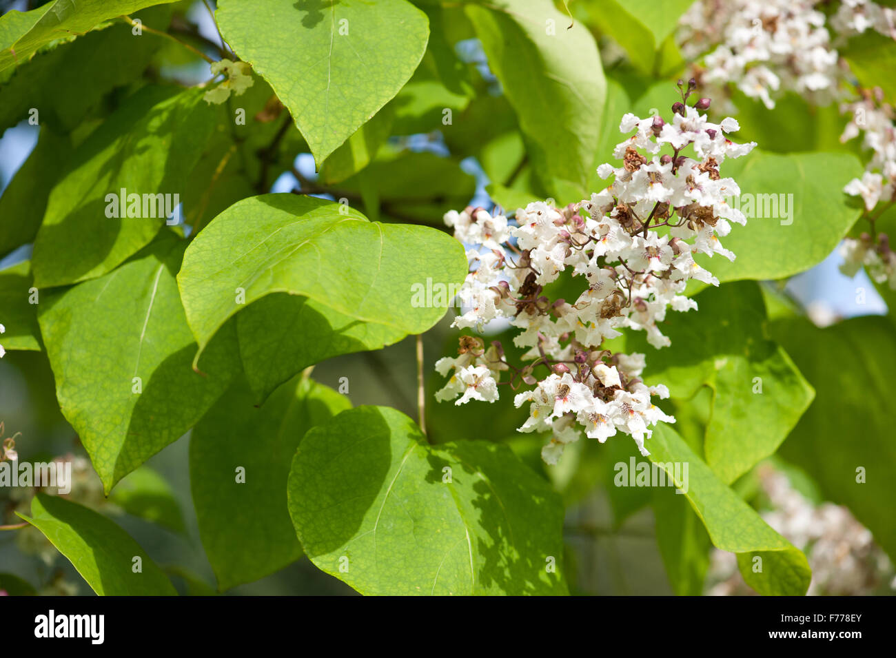Tubular white flowers stock photos tubular white flowers stock catalpa flowering deciduous tree blooming white inflorescences closeup tubular flowers show in july mightylinksfo