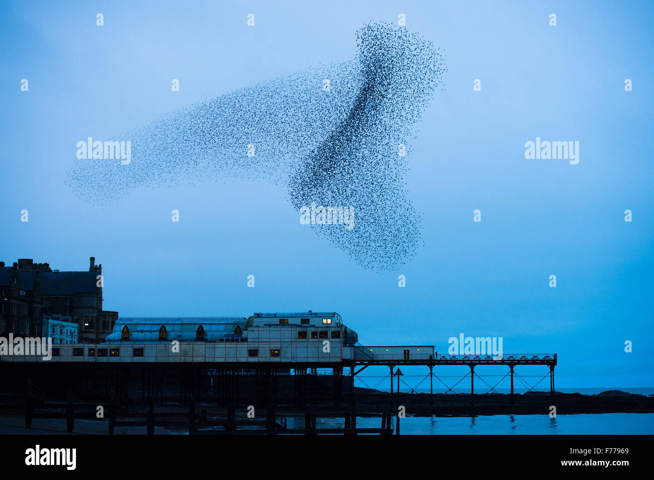 Aberystwyth, Wales, UK. 26th November, 2015.  A huge flock of starlings perform spectacular displays in the air Stock Photo