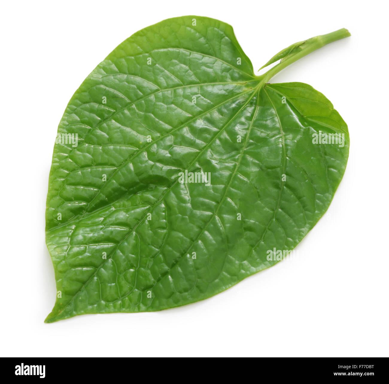 wild betel, la lot, piper lolot, lolot pepper, piper sarmentosum, leafbush - Stock Image