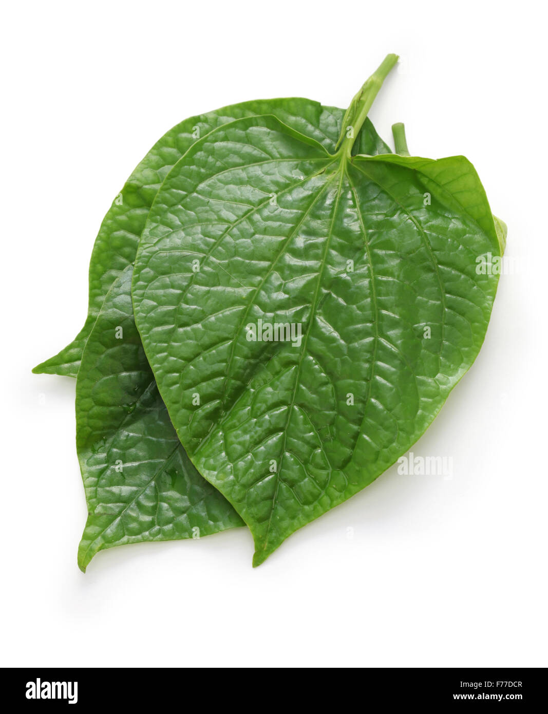 wild betel, la lot, piper lolot, lolot pepper, piper sarmentosum, leafbush Stock Photo