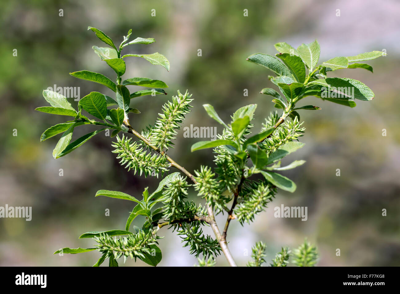 Alpine Willow / Bald willow (Salix glabra) close up of leaves and female catkins / fruiting bodies in spring - Stock Image