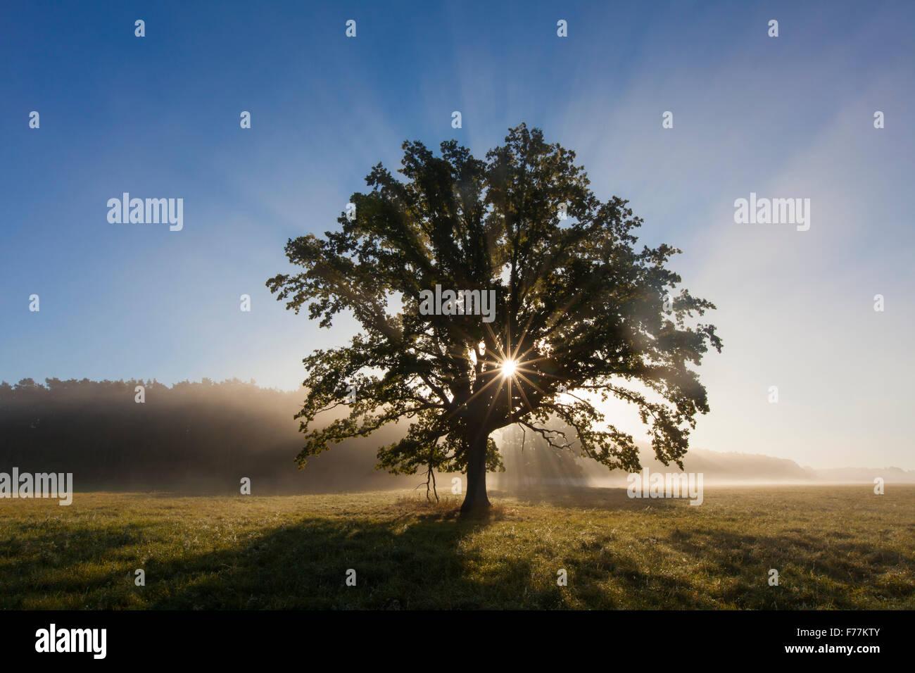 Sun shining through foliage of old solitary English oak / pedunculate oak / French oak tree (Quercus robur) in meadow - Stock Image