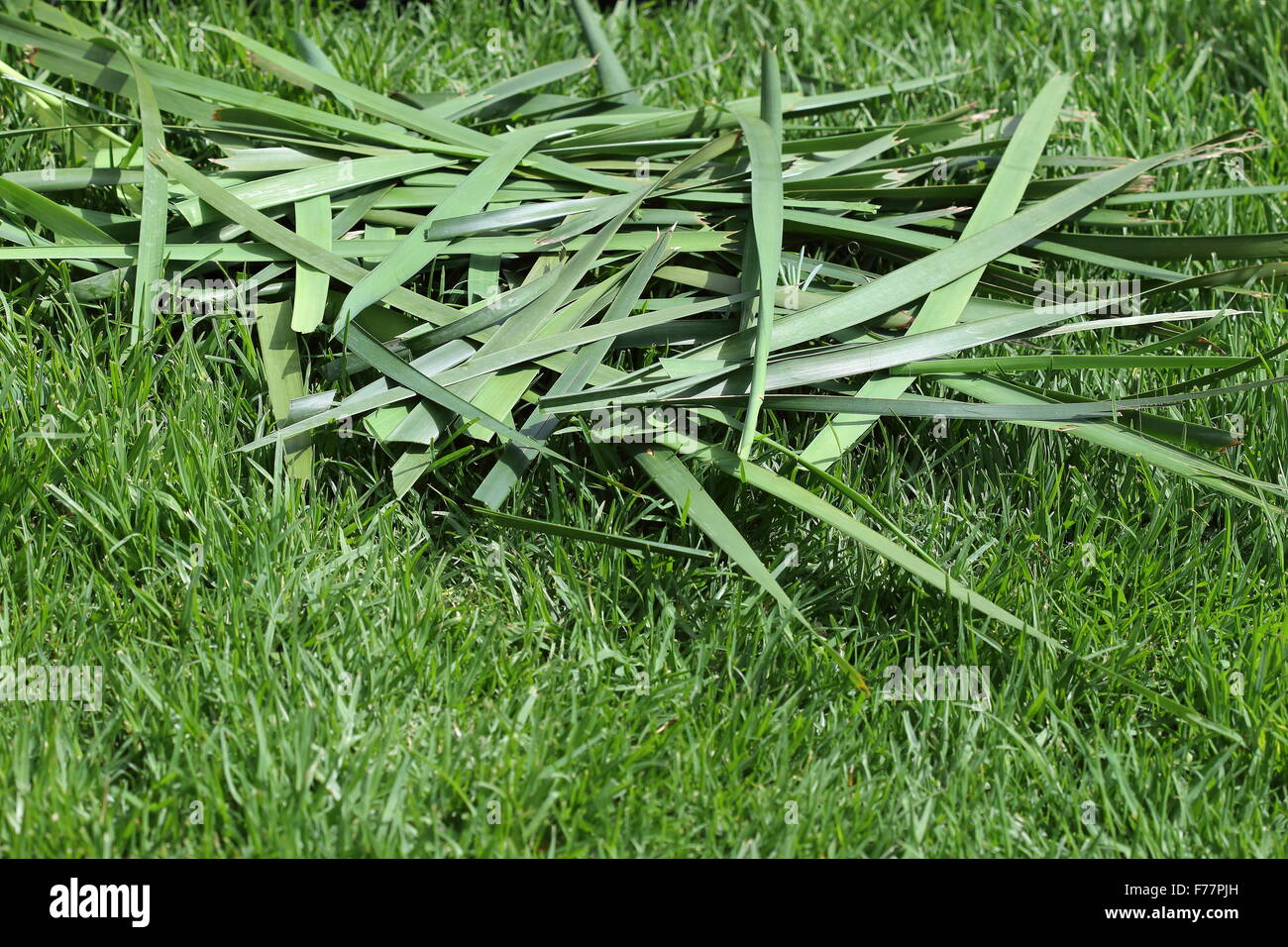 Freshly cut Lomandra grass clippings on a lawn - Stock Image
