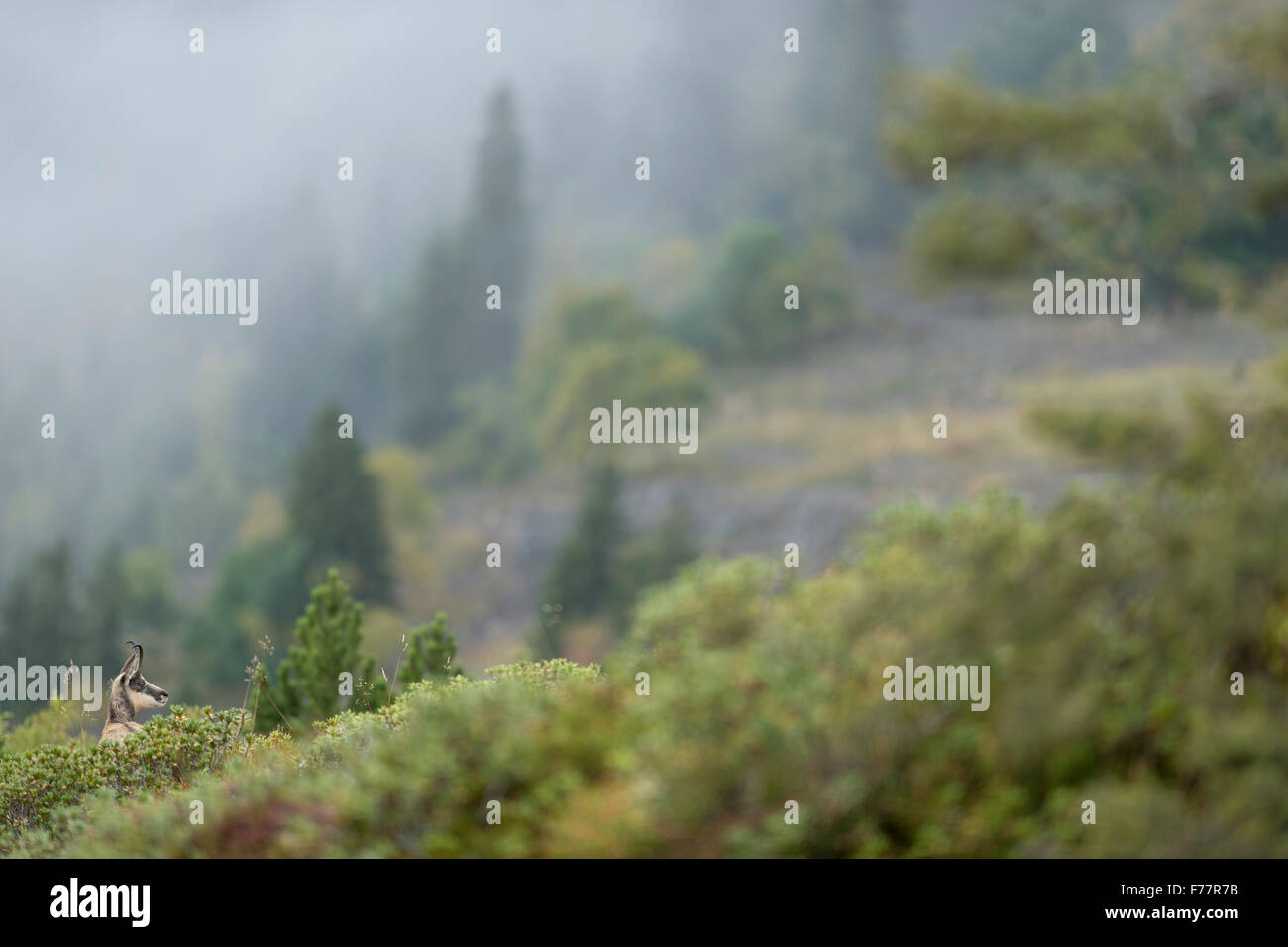 Chamois / Alpine chamois / Gaemse ( Rupicapra rupicapra ) stands in midst of colorful rich alpine vegetation. - Stock Image