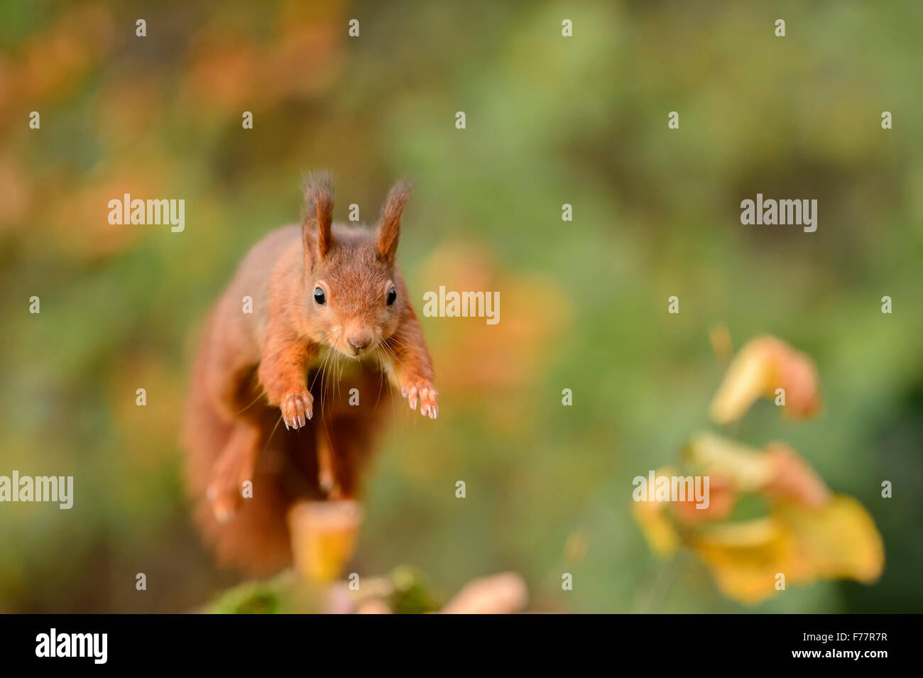Leaping red squirrel, jumping frontal towards the viewer - Stock Image