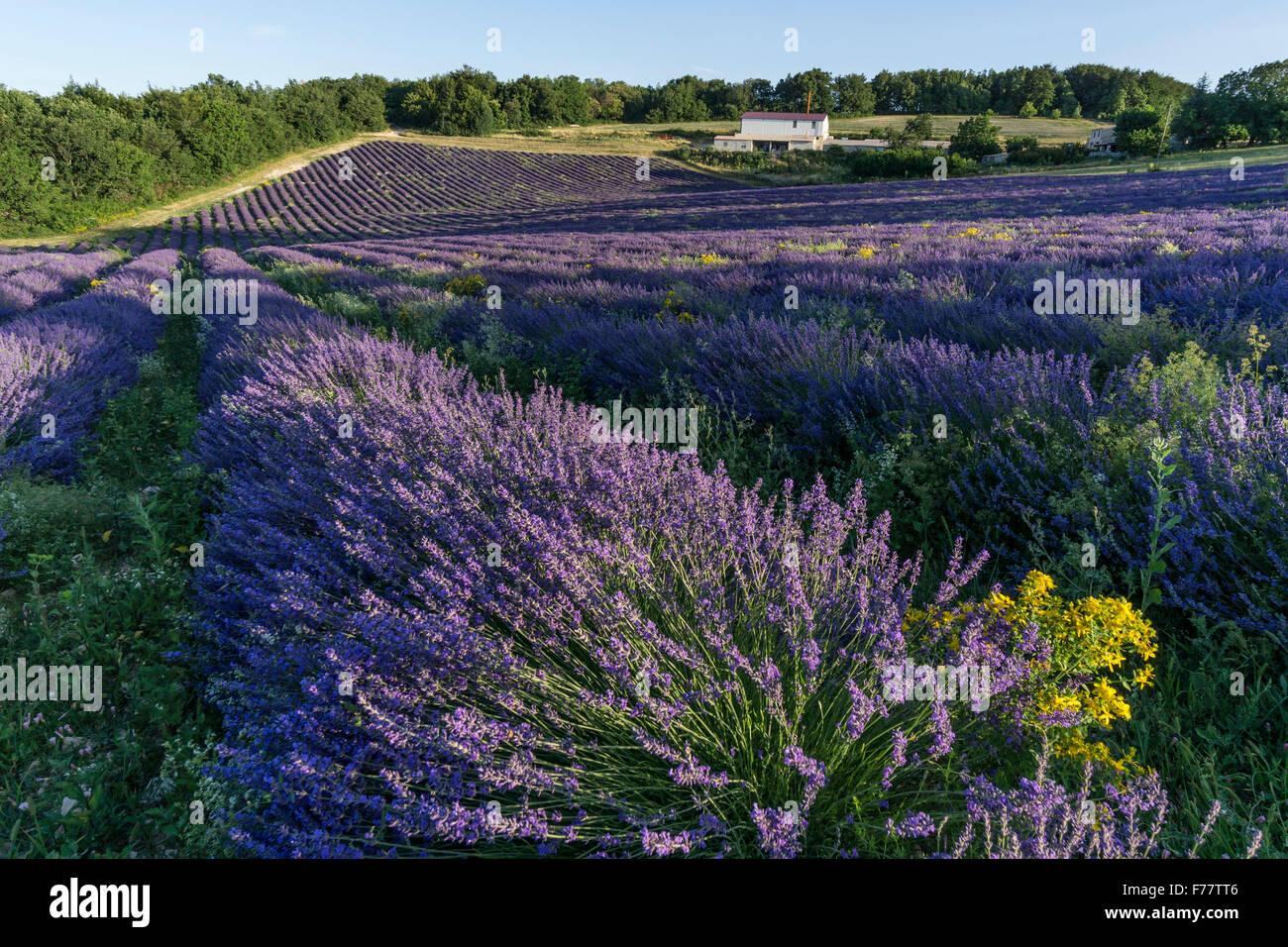 Lavender field , Pays de Banon, Distillery,  Vaucluse, Alpes-de-Haute-Provence, landscape,  Provence, France Stock Photo