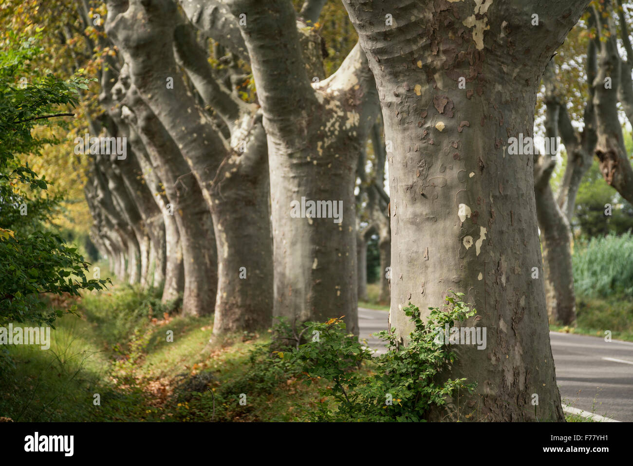 Alley of plane trees, near St. Remy de Provence, Stock Photo