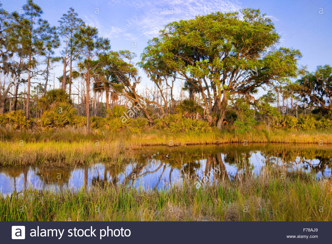 [Salt marsh] with 'Saw palmetto' [Serenoa repens] or [Sabal serrulatum] and [Sand live oak ] - Stock Image