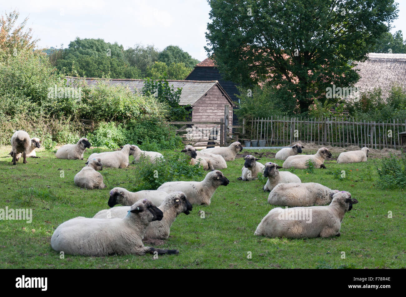 Sheep in field, Chiltern Open Air Museum, Chalfont St Giles Buckinghamshire, England, United Kingdom - Stock Image