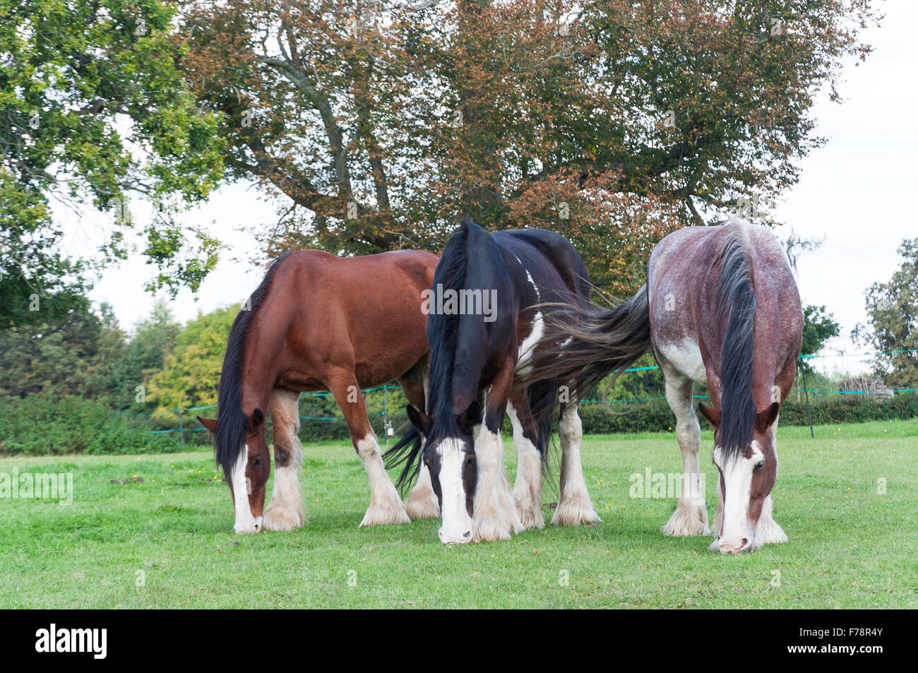 Draught horses grazing in field, Chiltern Open Air Museum, Chalfont St Giles Buckinghamshire, England, United Kingdom - Stock Image