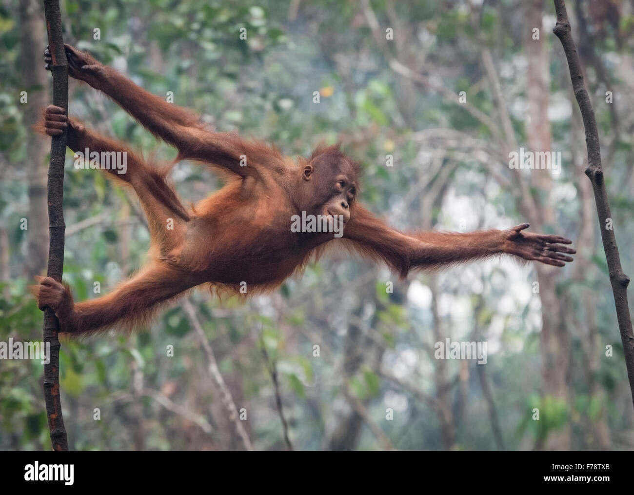 Young Bornean Orangutan (Pongo pygmoeus) stretches to reach next tree - Stock Image