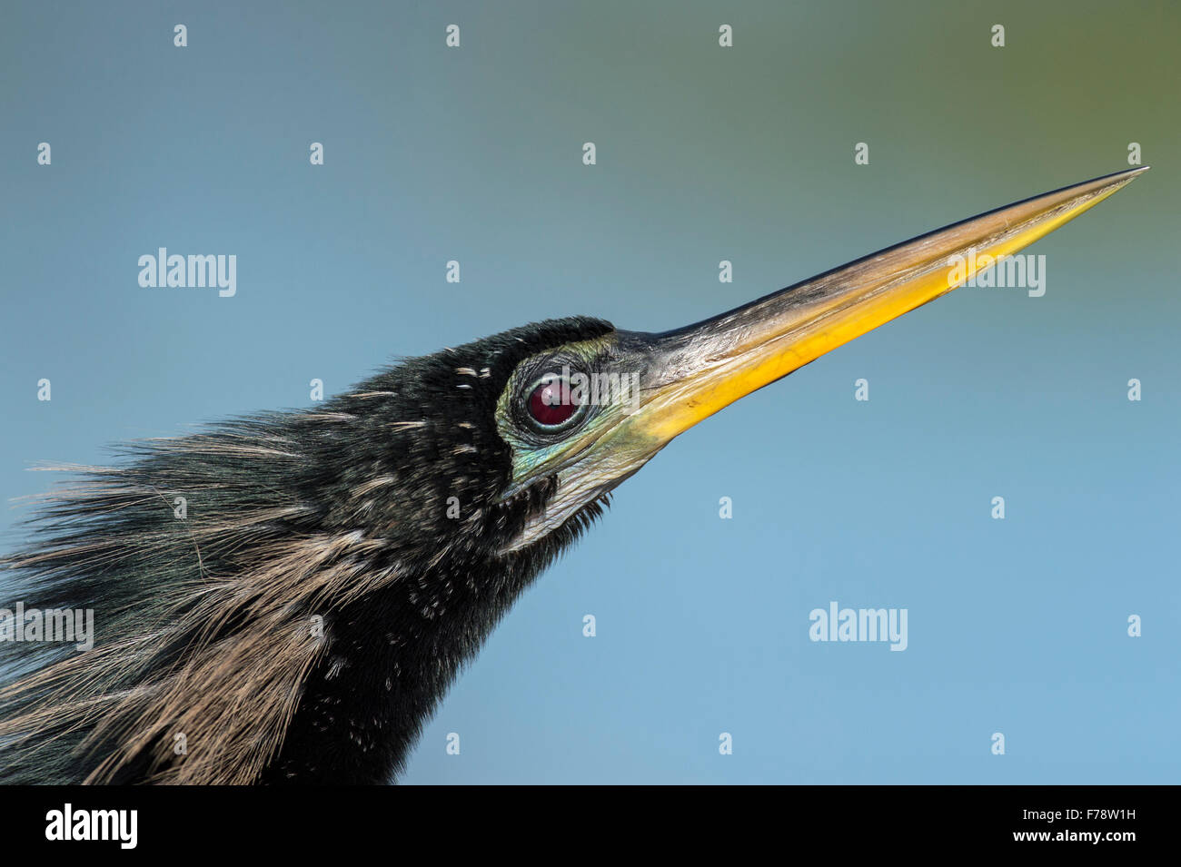 Portrait of Anhinga in Breeding Plumage blue background diagonal - Stock Image