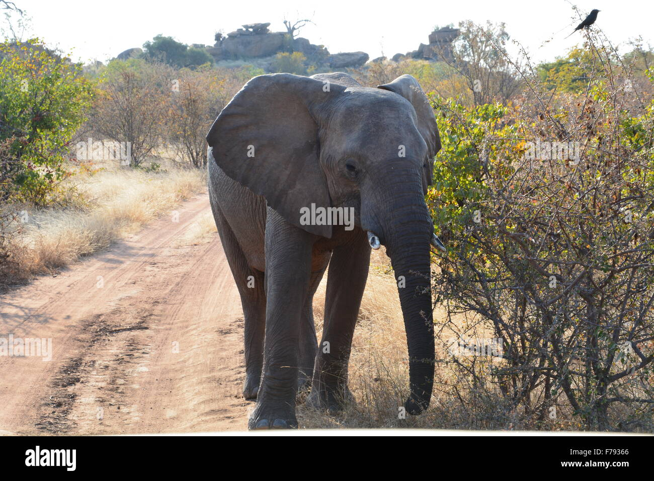 Juvenile elephant with broken tusks named Captain blocking the road in Tuli Botswana, Africa - Stock Image