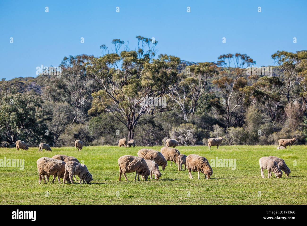 Australia, Western Australia, Wheatbelt Region, Shire of Victoria Plains, flock of Merino sheep at New Norcia - Stock Image