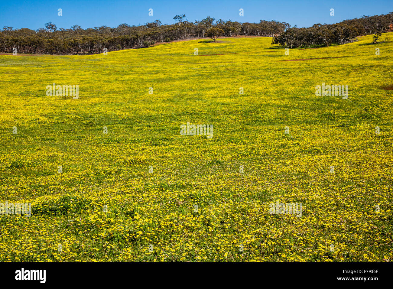 Australia, Western Australia, Wheatbelt Region, Shire of Victoria Plains, carpet of Cape Weed daisies - Stock Image