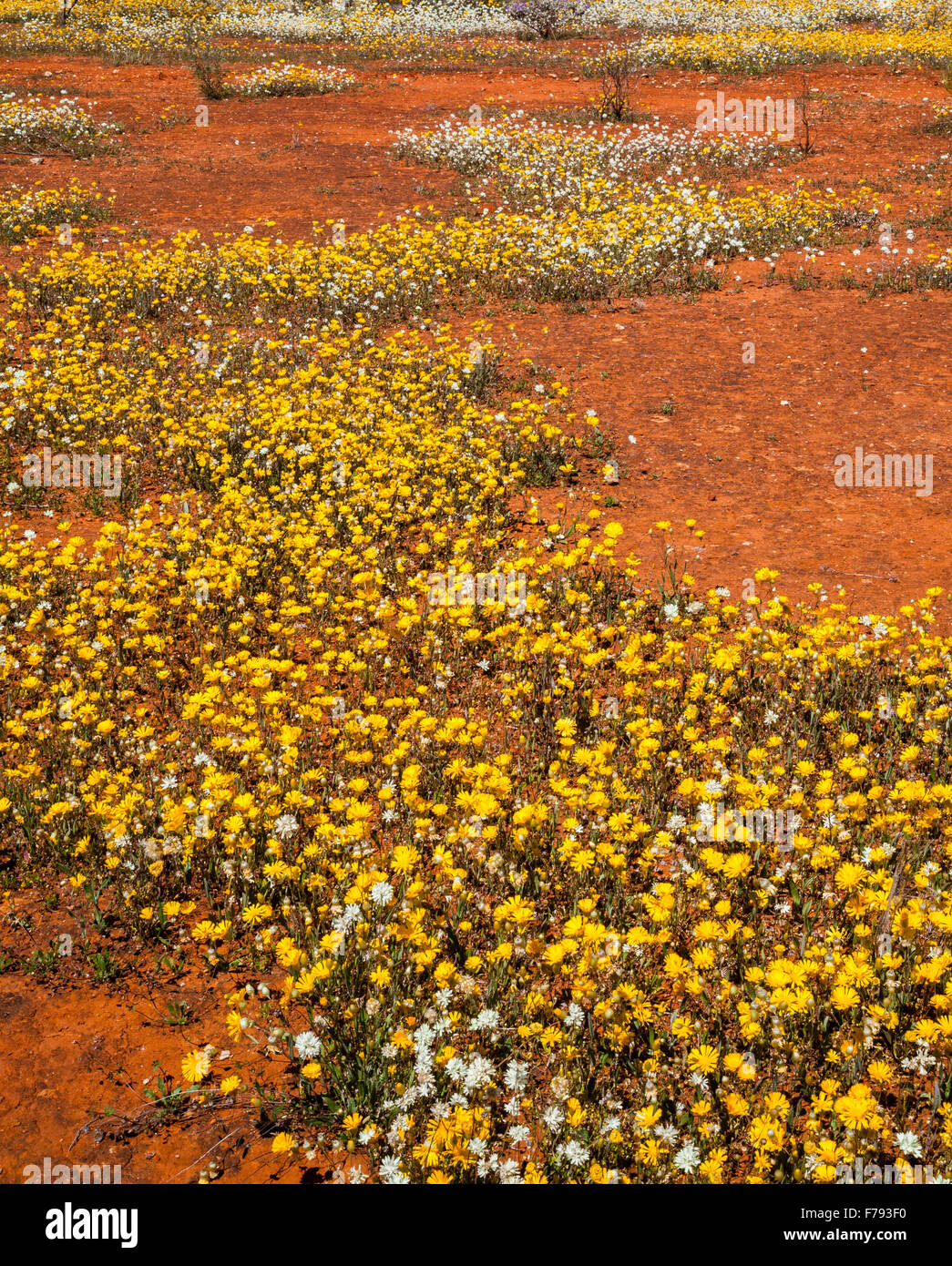 Australia, Western Australia, Mid West, Murchison District, rich display of Podolepis daisies spring wildflowers - Stock Image