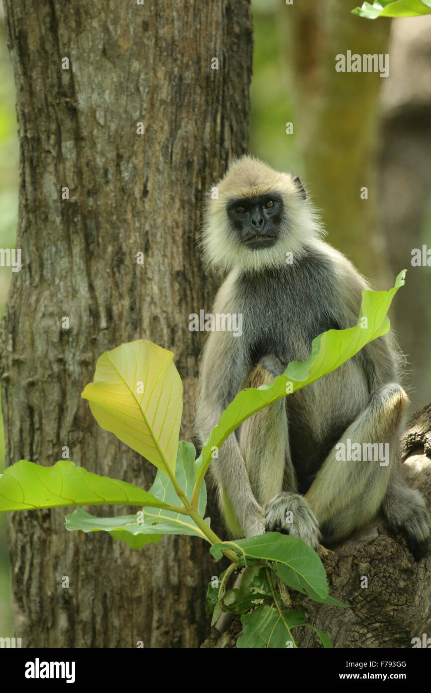 Hanuman langur sitting on a tree - Stock Image