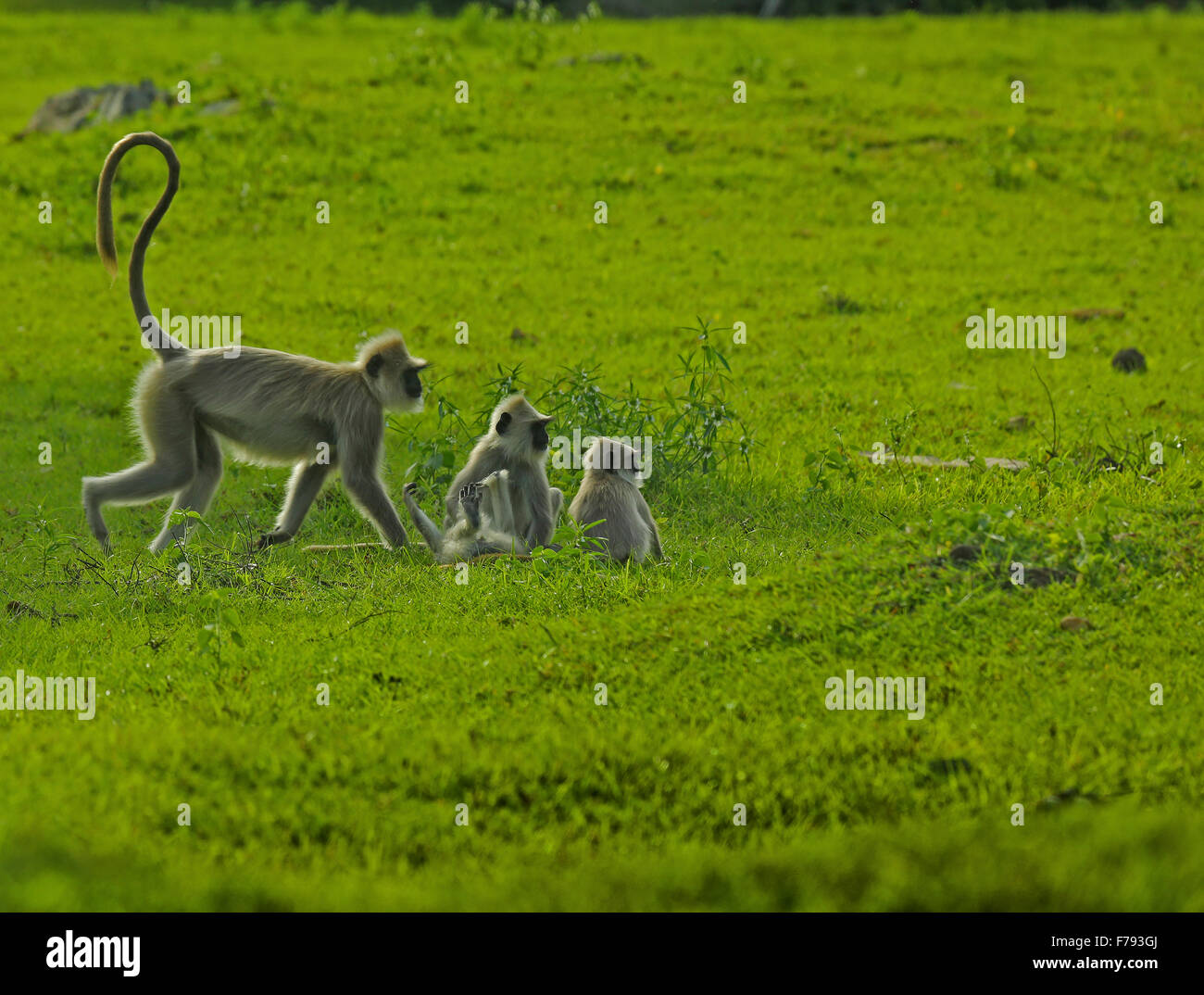 Hanuman langur mother and children - Stock Image