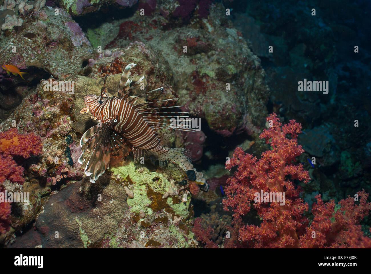 Lion fish, Pterois miles, Scorpenidae, Sharm el Sheikh, Red Sea, Egypt - Stock Image