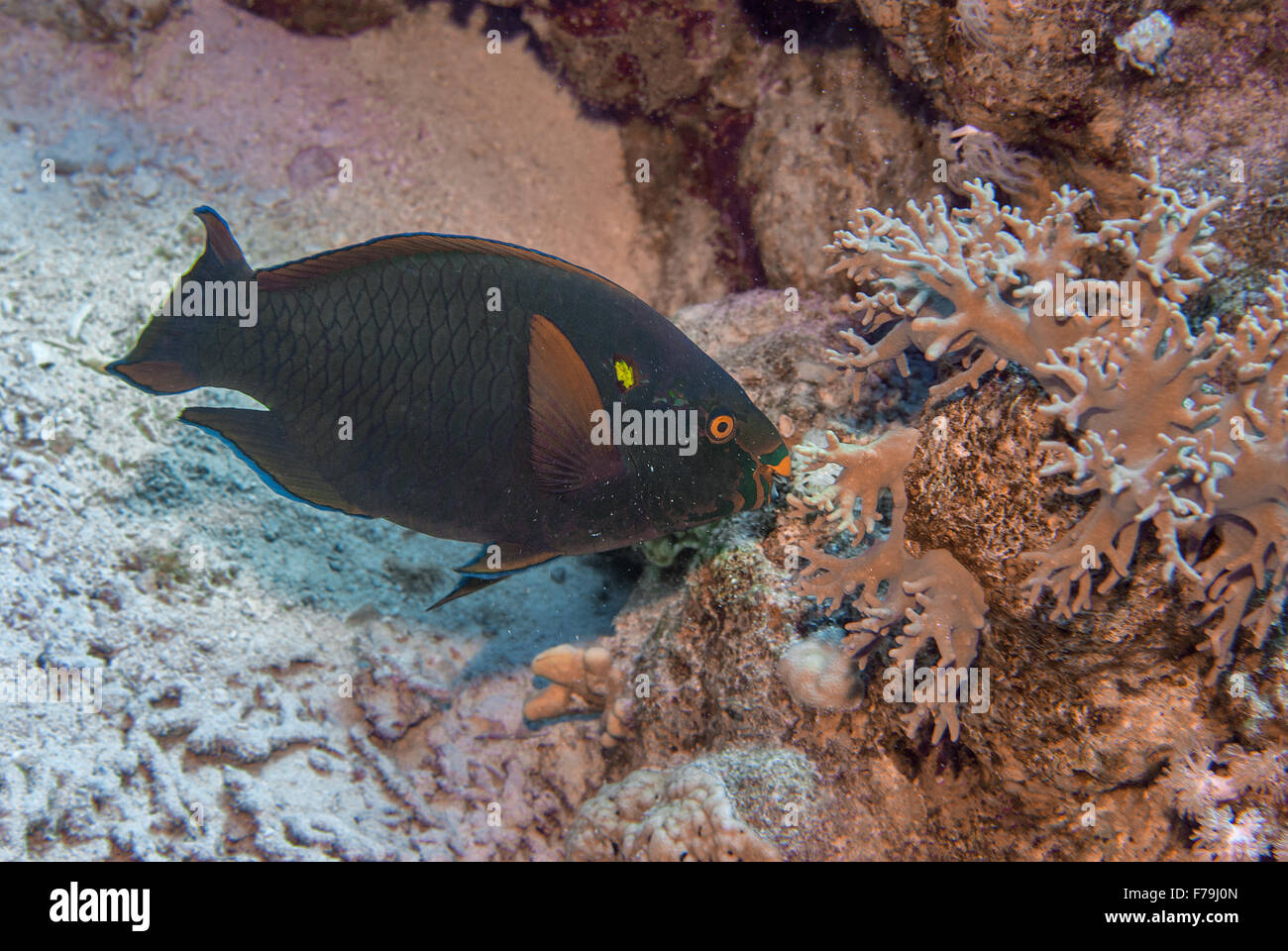 Swarty parrotfish, Scarus niger, Scaridae,  Red Sea, Sharm el-Sheikh, Egypt - Stock Image