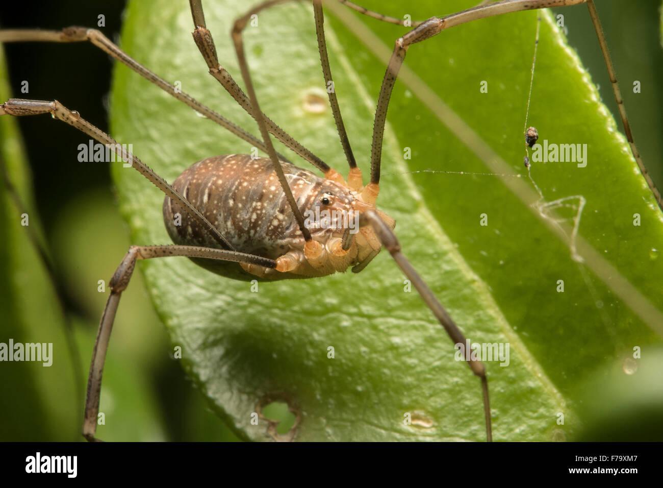 Harvestman arachnid sitting on a leaf, showing eye and body markings - Stock Image