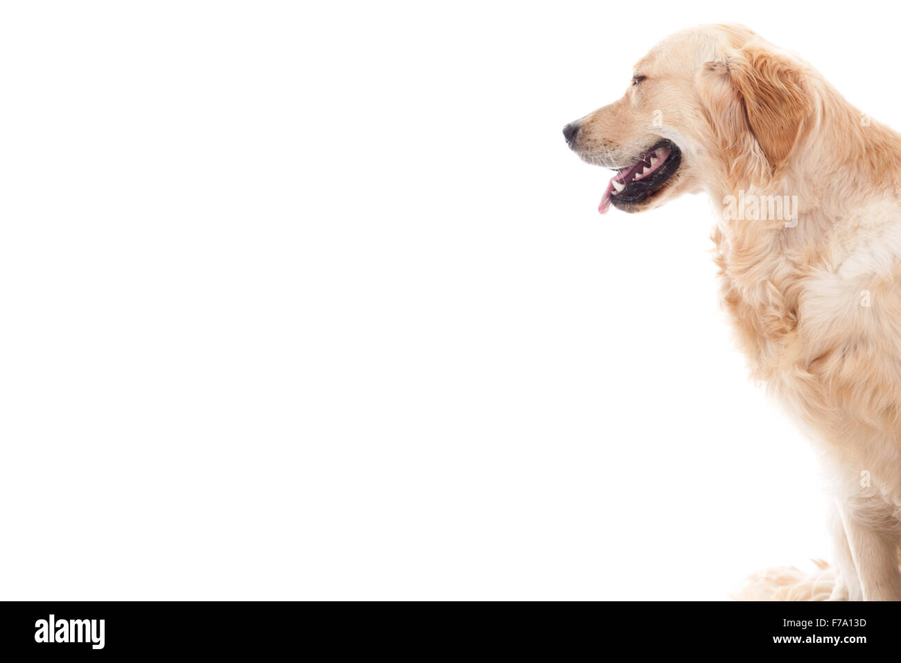 Happy dog photographed in the studio on a white background - Stock Image