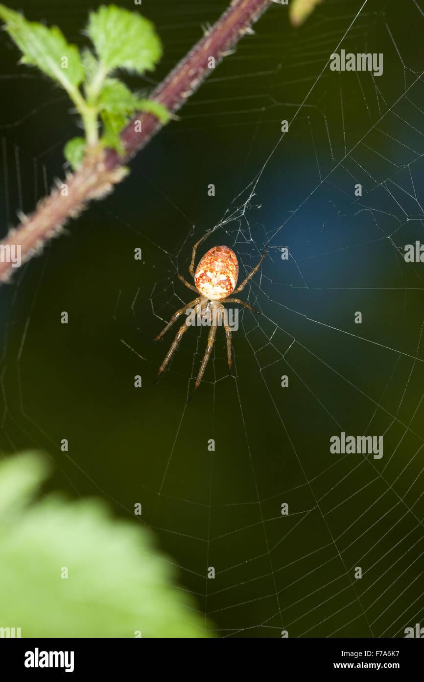 Autumn spider, Lesser Garden Spider, Herbstspinne, Weibchen, Herbst-Spinne, Metellina cf. segmentata, Meta cf. segmentata - Stock Image