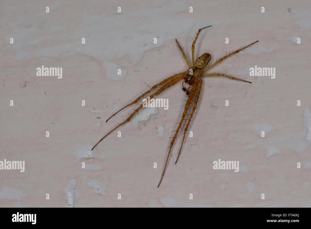 Autumn spider, Autumn-spider, Lesser Garden Spider, Herbstspinne, Männchen, Herbst-Spinne, Metellina segmentata, - Stock Image