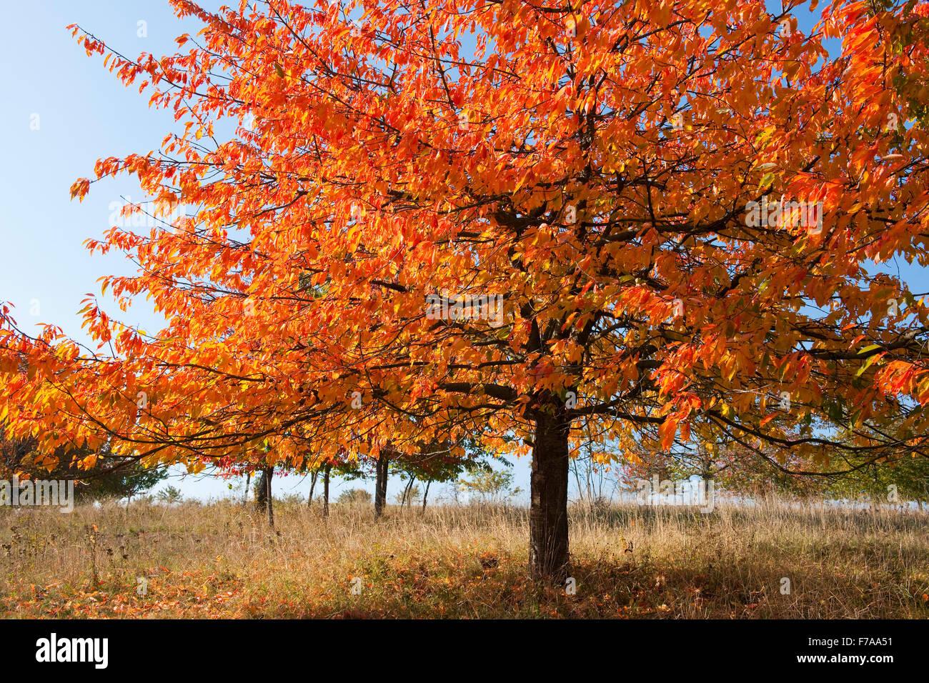 Bird cherry (Prunus avium), orchard in autumn, Thuringia, Germany - Stock Image