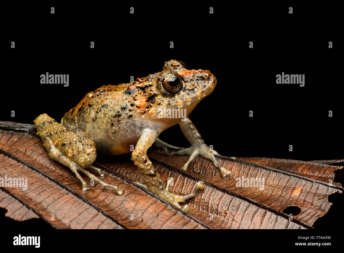 Executioner Clownfrog (Dendropsophus carnifex), tree frog family (Hylidae), fog rainforest, Mindo valley, Andes, - Stock Image