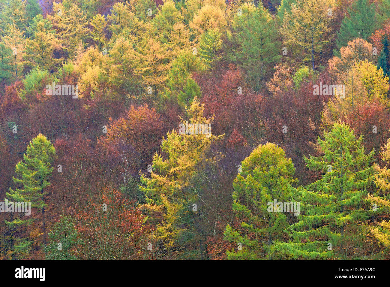 Autumnal mixed forest with larches (Larix), spruce trees (Picea abies) and beech trees (Fagus sylvatica), North Stock Photo