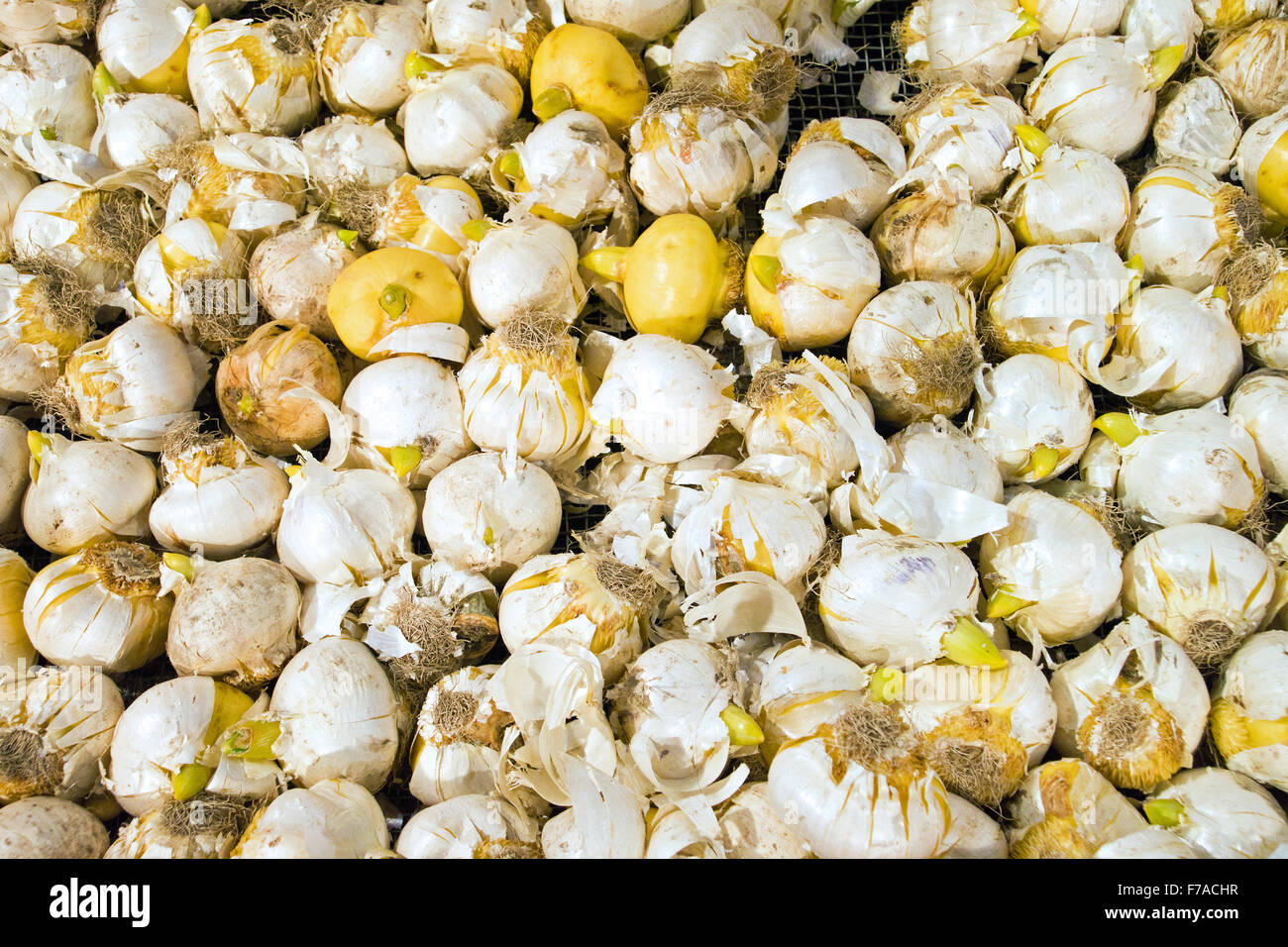 A background of flower bulbs Stock Photo