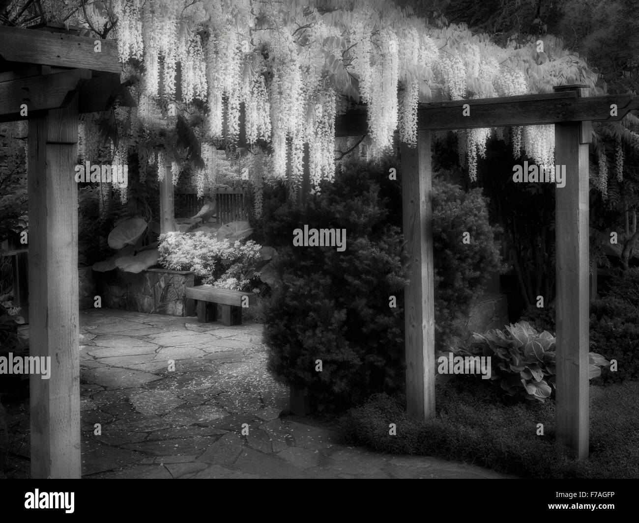 Wisteria trellis. The Oregon Garden. Silverton, Oregon - Stock Image